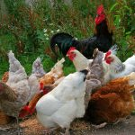 Poultry farmers in Cambridgeshire are being told to protect their birds, after a highly-infectious strain of avian flu was discovered in Europe.