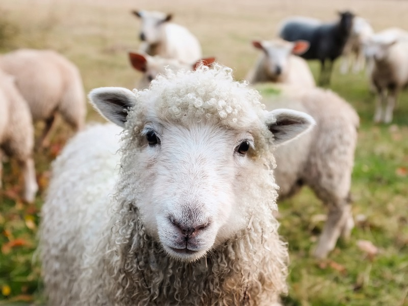 Dog owner warning as police forces call for new powers to tackle sheep attacks