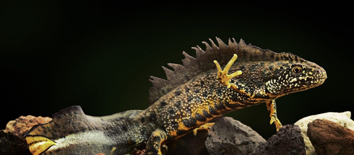 crested newt an amphibian under water a beautiful coloured animal and endangered species lives in small fresh water ponds Trituris cristatus